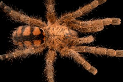 Photo: Venezuelan redstripe (Avicularia minatrix) at the Loveland Living Planet Aquarium in Draper, UT.
