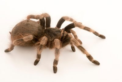 Photo: Brazilian black and white tarantula (Nhandu coloratovillosus) at Malacca Butterfly and Reptile Sanctuary.