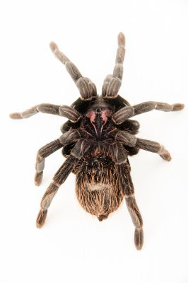 Photo: A female Colombian lesser black tarantula (Xenesthis immanis) at the Budapest Zoo.