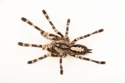 Photo: Sri Lanka ornamental spider (Poecilotheria fasciata) at the Budapest Zoo.