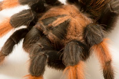 Photo: Mexican red-legged tarantula (Brachypelma emilia)