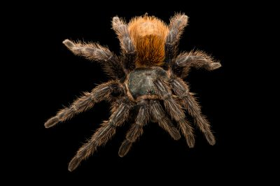 Photo: Chromatopelma cyaneopubescens at Budapest Zoo