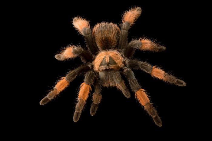 Photo: Mexican red-legged tarantula (Brachypelma emilia)