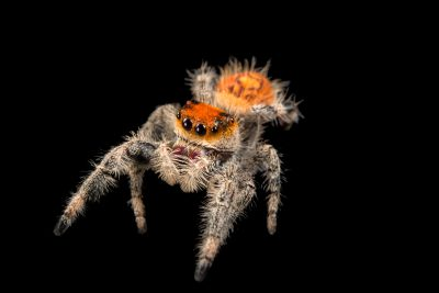 Photo: A female regal jumping-spider (Phidippus regius) at the University of Florida in Gainesville.