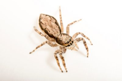 Photo: A female, gray wall jumping-spider, Menemerus bivittatus, at the University of Florida in Gainesville.