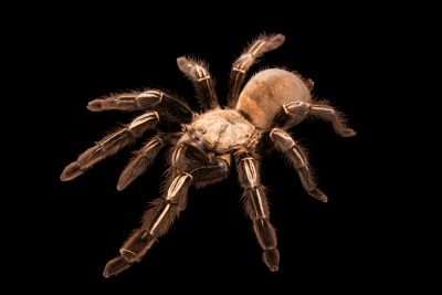 Photo: Skeleton tarantula (Ephebopus murinus) at the Bugarium at the Albuquerque BioPark.