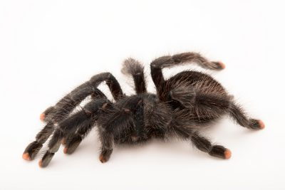Photo: Brazilian blue and red tarantula (Avicularia geroldi) at the Bugarium at the Albuquerque BioPark.