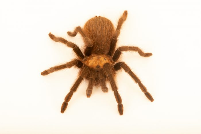 Photo: Texas tan tarantula (Aphonopelma anax) at Butterfly Pavilion.