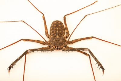 Photo: Tanzanian whip scorpion (Damon medius) at Butterfly Pavilion in Westminster, Colorado.