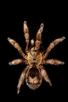 Photo: Chilean gold burst tarantula (Euathlus parvulus) at Butterfly Pavilion in Westminster, Colorado.
