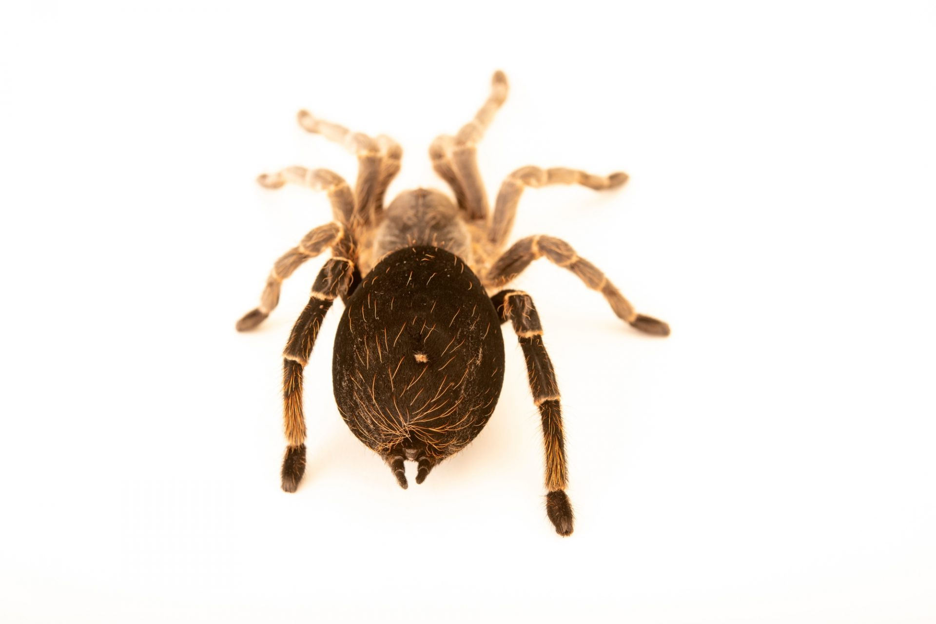 Photo: White-collared beauty or white-collared tarantula (Eupalaestrus weijenberghi) at Butterfly Pavilion in Westminster, Colorado.