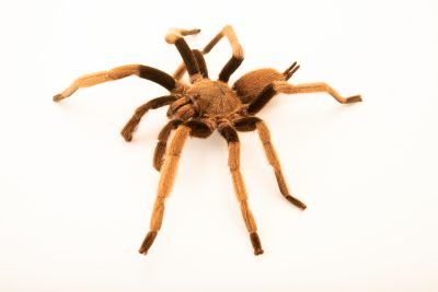Photo: A male Australian whistling spider (Selenocosmia crassipes) from the Melbourne Museum