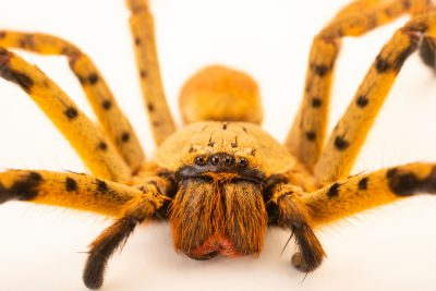 Photo: Tiger huntsman (Typostola sp.) from the Melbourne Museum