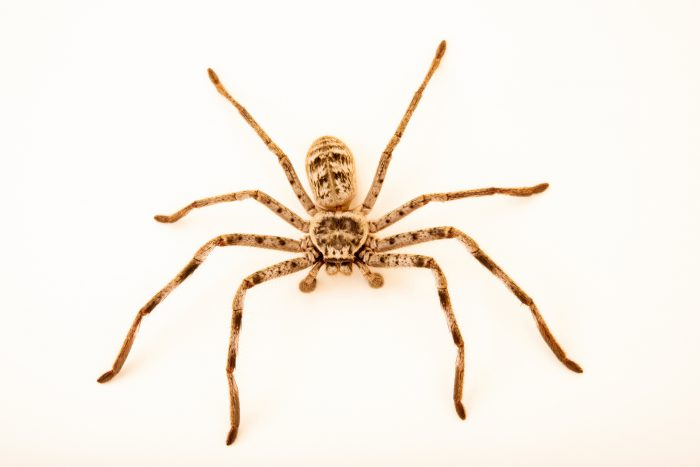 Photo: Murray Banded Huntsman (Holconia murrayensis) from the Melbourne Museum