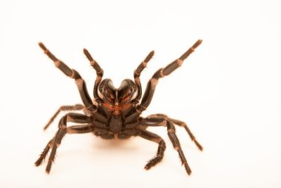 Photo: An adult female SutherlandÕs funnelweb spider (Atrax sutherlandi) from the Melbourne Museum