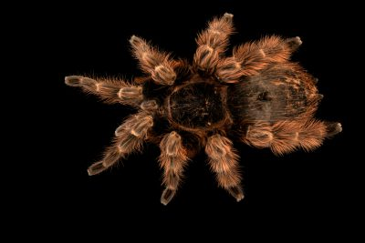 Photo: A Brazilian red tarantula (Nhandu carapoensis) at Museum of Nature South Tyrol.
