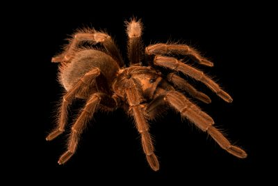 Photo: A Cuban bronze tarantula (Phormictopus auratus) at Museum of Nature South Tyrol.