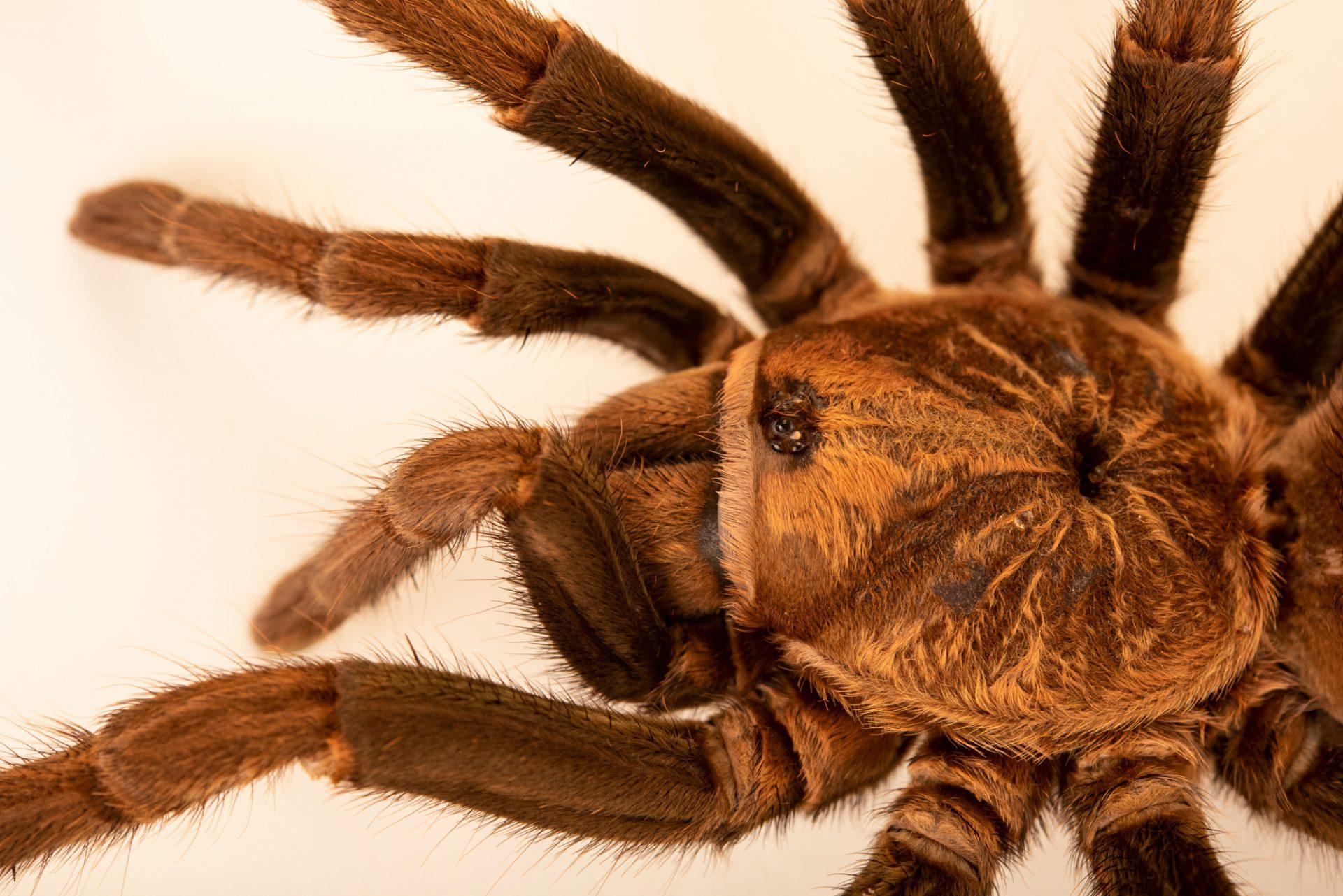 Photo: A Cuban bronze tarantula (Phormictopus auratus) at Museum of Nature South Tyrol.