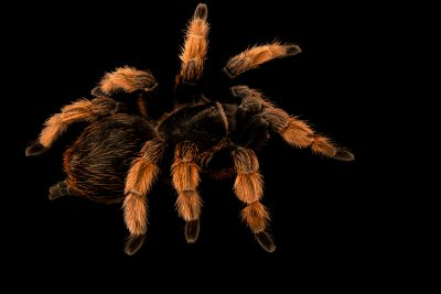 Photo: A Mexican pink tarantula (Brachypelma klaasi) at Museum of Nature South Tyrol.