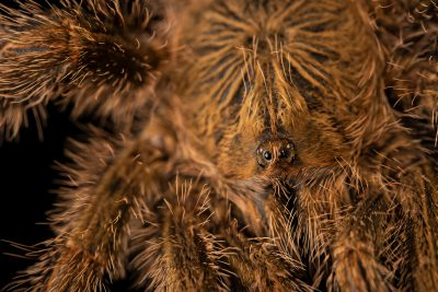 Photo: A yellow banded pinktoe (Avicularia aurantiaca) at Museum of Nature South Tyrol.