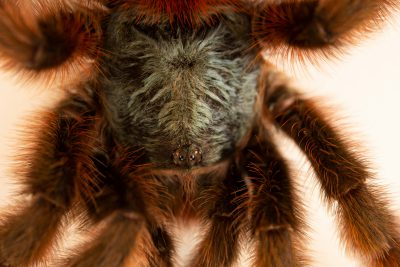 Photo: An Antilles pinktoe (Caribena versicolor) at Museum of Nature South Tyrol.