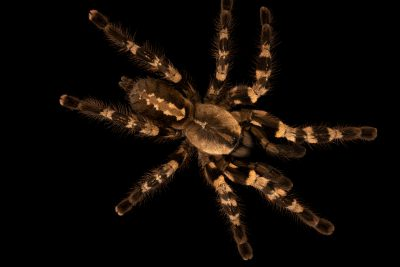 Photo: A Wessel tiger ornamental tarantula (Poecilotheria tigrinawesseli) at Museum of Nature South Tyrol.