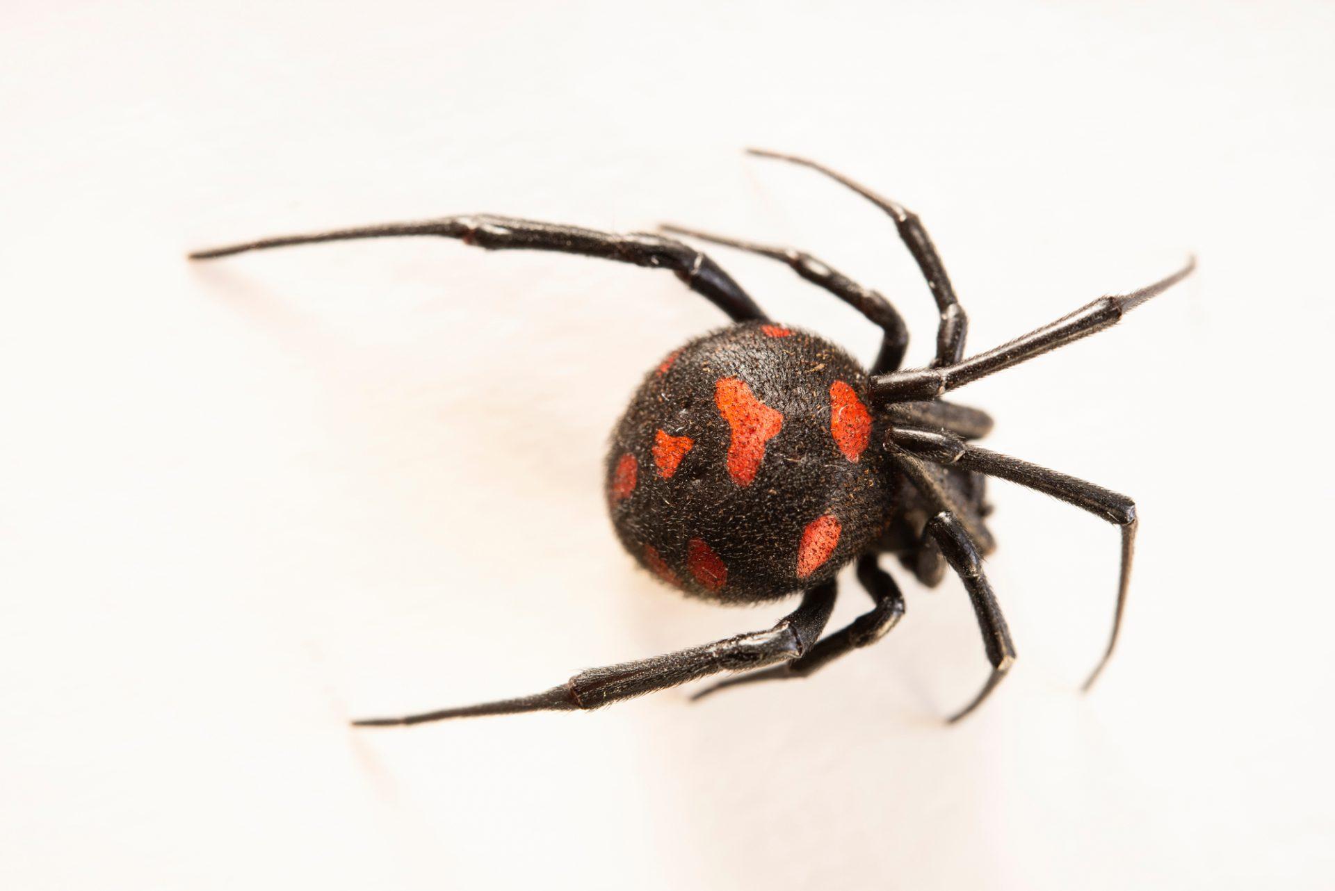 Photo: A European black widow (Latrodectus tredecimguttatus) at Museum of Nature South Tyrol.
