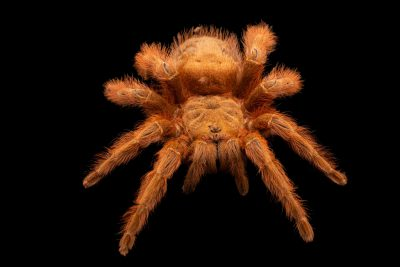 Photo: Brazilian blonde tarantula (Nhandu vulpinus) at Eltoro Zoo de la Castellana, Inc., on Negros Island, Philippines.