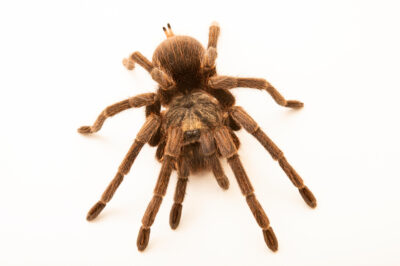 Photo: A tarantula (Phormictopus platus) at the Plzen Zoo in the Czech Republic.