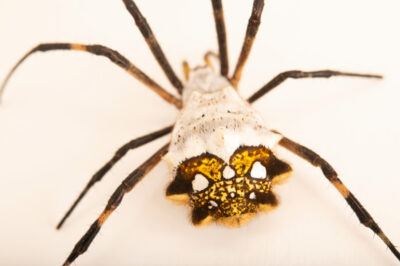 Photo: A silver orb weaver (Argiope argentata) at the Museo d'Orbigny Natural History Museum in Cochabamba, Bolivia.