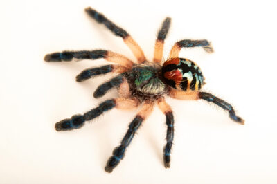 Photo: A Brazilian jewel tarantula (Typhochlaena seladonia) at the Dallas Zoo.