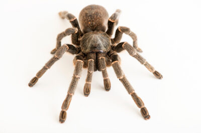 Photo: A Kilimanjaro mustard baboon spider (Pterinochilus chordatus) at Prague Zoo.