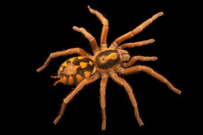 Photo: A pumpkin patch tarantula (Hapalopus formosus) at Plzen Zoo in the Czech Republic.