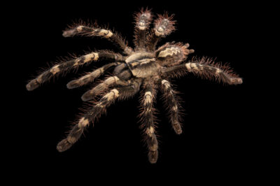 Photo: A yellow-backed ornamental tarantula, Poecilotheria smithi, from a private collection.