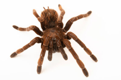 Photo: A Costa Rican pink-footed tarantula (Sericopelma melanotarsum) from a private collection.