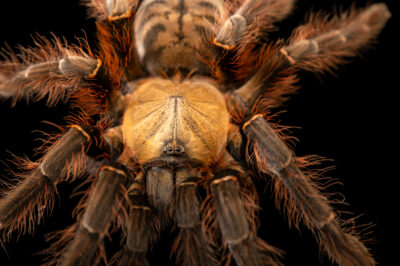 Photo: A tarantula (Phormingochilus everetti) from a private collection.