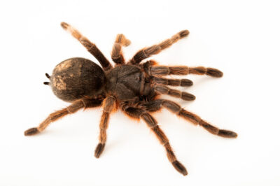 Photo: A tarantula (Grammostola anthracina) from a private collection.