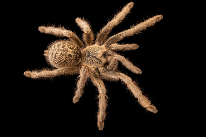 Photo: A tarantula (Harpactira dictator) from a private collection.
