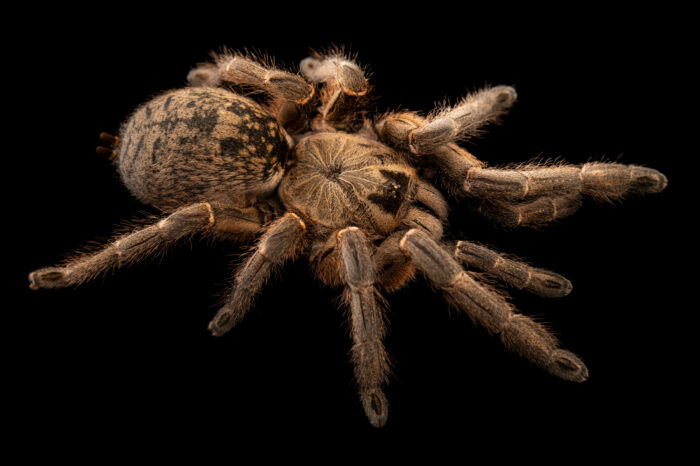 Photo: A tarantula (Ceratogyrus hillyardi) from a private collection.