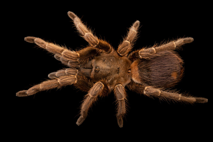Photo: An undescribed tarantula species from Columbia (Pseudhapalopus sp. Blue) from a private collection.