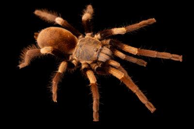 Photo: An Asian tarantula (Haplocosmia himalayana) from a private collection.