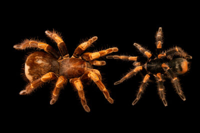 Photo: Two Costa Rican redleg tarantulas (Megaphobema mesomelas) from a private collection.