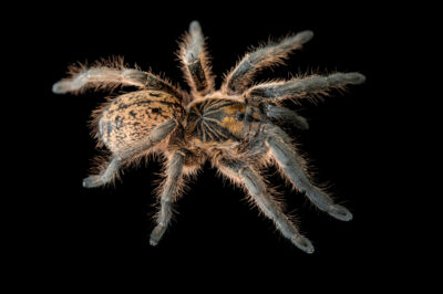 Photo: A lesser baboon spider (Harpactirella lightfooti) from a private collection.