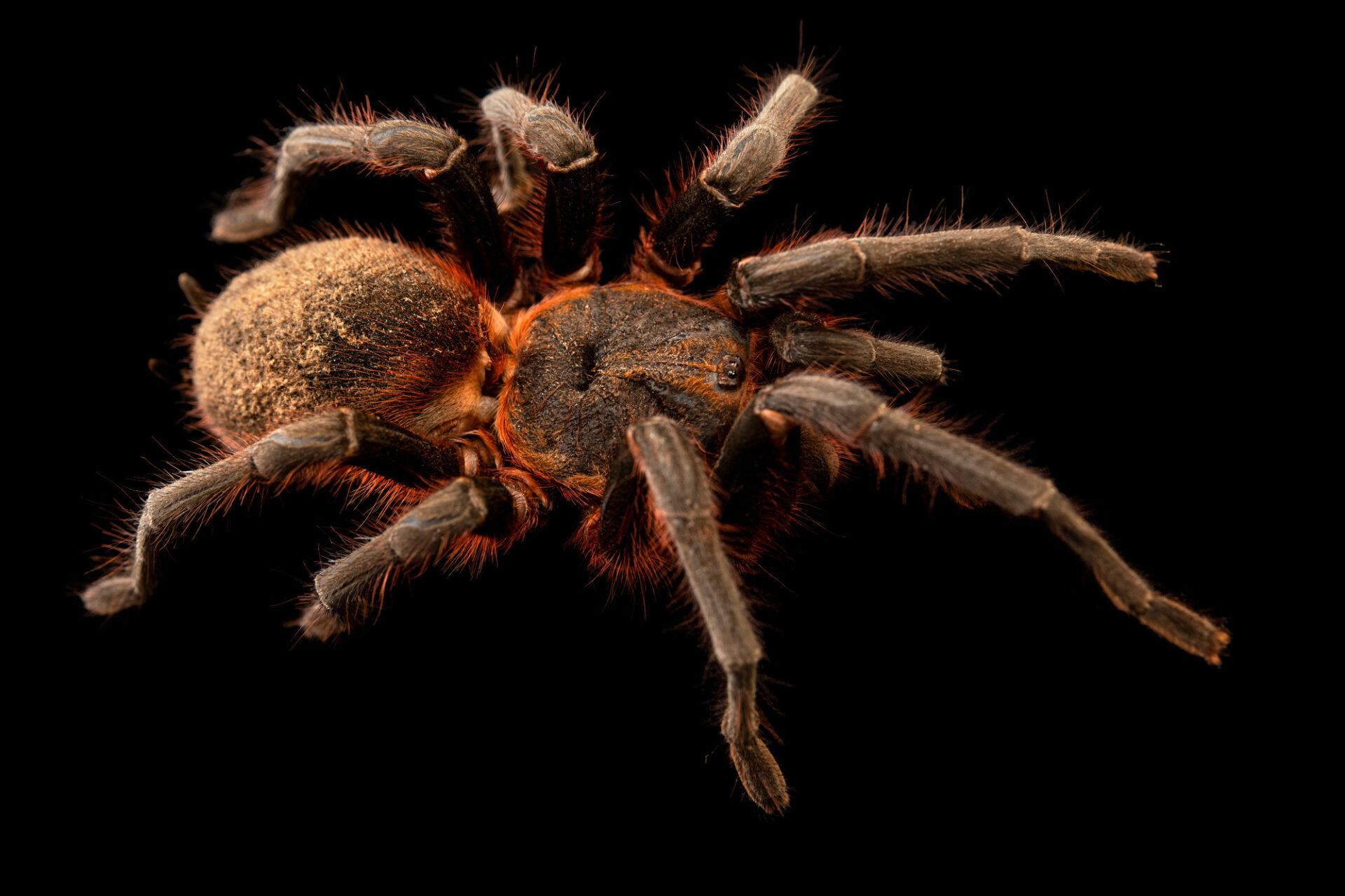 Photo: An Amazon slender leg tarantula (Maraca horrida) from a private collection.