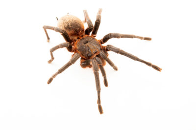 Photo: An Amazon slender leg tarantula (Maraca horrida) from a private collection.