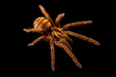 Photo: A bumblebee tarantula (Neoholothele fasciaaurinigra) from a private collection.