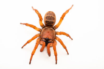 Photo: A trapdoor spider (Sinothela sinensis) from a private collection.
