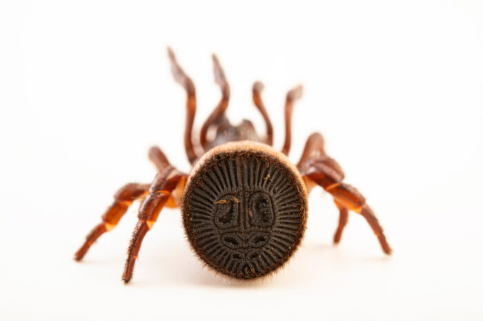 Photo: An oreo spider (Cyclocosmia latusicosta) from a private collection.