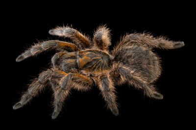 Photo: An amber baboon tarantula (Harpactira cafreriana) from a private collection.