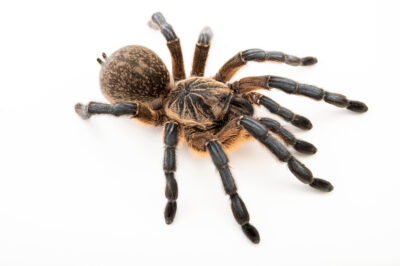 Photo: A golden blue leg baboon tarantula (Harpactira pulchripes) from a private collection.